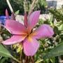 Pink Plumeria Flower