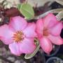 Adenium arabicum - Desert Rose Flowers (Adenium arabicum - Desert Rose)