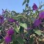 Dalechampia aristolochiifolia - Purple Wings Vine Flowers