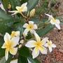 Plumeria 'Celadine' Flowering