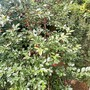 Morello cherry  (Prunus cerasus)