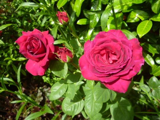 Steve's rose