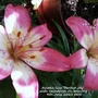 Asiatic lily 'Perfect Joy' on balcony 4th July 2021 (Asiatic lily)