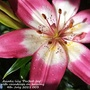 Asiatic_lily_perfect_joy_with_raindrops_on_balcony_4th_july_2021_003
