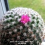 Cactus with 1st flower of 2021 in kitchen 5th July 2021