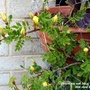Chinese rose with lots of buds on balcony 26th April 2021