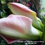 Amaryllis with flower bud opening on balcony 4th July 2021 (Amaryllis Hippeastrum)