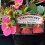 Strawberry 'Toscana' just bought 14th May 2021 (Fragaria x ananassa (Garden strawberry))
