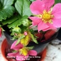 Strawberry 'Toscana' flowering on balcony 16th May 2021 (Fragaria x ananassa (Garden strawberry))