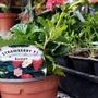 Strawberry 'Roman' (Fragaria x ananassa (Garden strawberry))