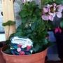 Strawberry 'F1 Roman' on balcony 29th May 2021 (Fragaria x ananassa (Garden strawberry))