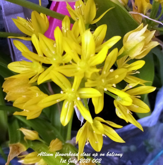 Allium flowerhead close up on balcony 1st July 2021 (Allium)