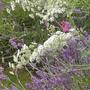 Ammi majus and Hidcote lavender