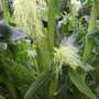 "Sweetcorn ""Ovation"""