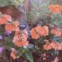 Crossandra infundibuliformis - Firecracker Flower