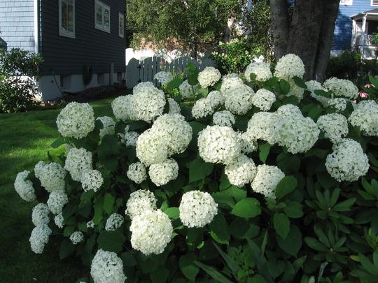 hydrangea Annabelle (Hydrangea arborescens (Hydrangea))