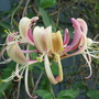 scented honeysuckle (lonicera)