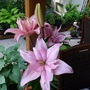 Asiatic Pink lily Elodie