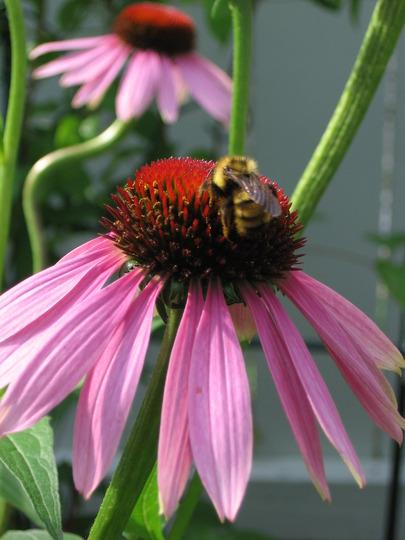 bee on coneflower (echinacea)