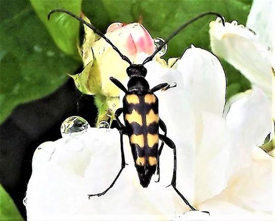 Beetle on a rose