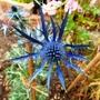 Eryngium_zabelii_big_blue