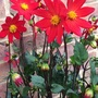Dahlia from seed.