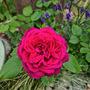 Rose 'Royal Parfuma'. Hybrid Tea.