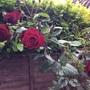 Climbing rose 'Crimson Cascade'.