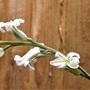 Haworthia cooperii flowers