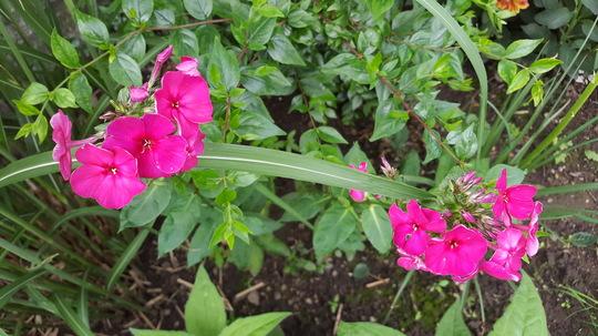Phlox paniculata Juliglut