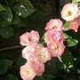 Freebie rose!