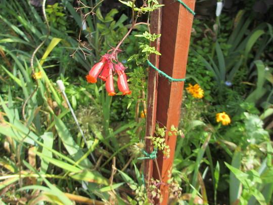 Eccremocarpus scaber red  (Eccremocarpus scaber (Chilean glory flower))