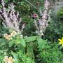 Salvia sclarea var. turkestanica (Salvia sclarea (Clary))