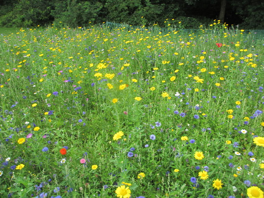 Flower meadow planting. (Wild flowers)