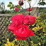 Unnamed climbing rose