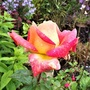 Rosa 'Picadilly'