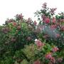 For Waddy - Escallonia rubra macranthus