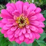 Zinnia grown from seed