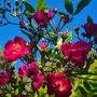 My climbing, clambering deep pink rose..