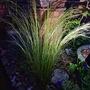 Pheasant grass pic at night. (Stipa arundinacea (Pheasant's tail grass))