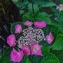 Pink hydrangea macrophylla. (Hydrangea macrophylla (Hortensia)angea)