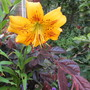 Lilium leichtlinii (Lilium leichtlinii)