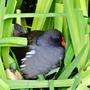 Moorhen on nest