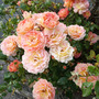 another rose bush blooming.