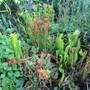 Pitcher Plants (Sarracenia (Pitcher Plant))