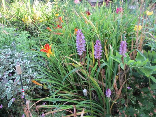 Poor Man's Orchid - Francoa (Francoa sonchifolia Rogerson's Form)