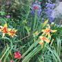 Part of the Front Garden (Crinum powelli)