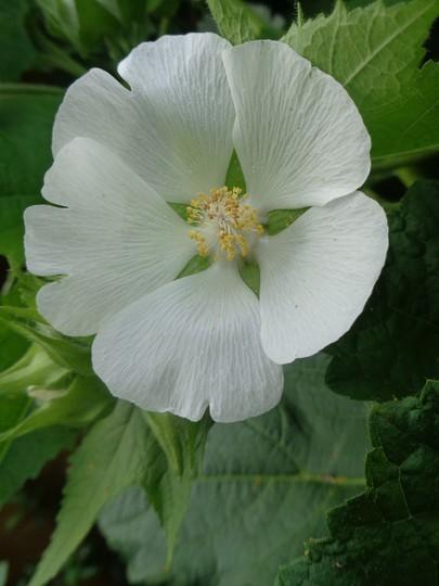 Chalice flower