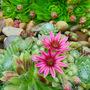 Some more succulent, sempervivum flowers. (Sempervivum tectorum (Common Houseleek))