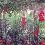 Salvias & Rudbeckia